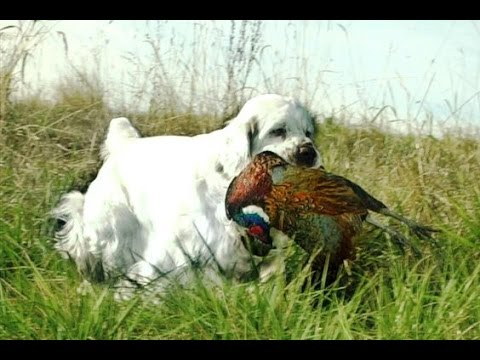 CSCA Hunting with Clumber Spaniels