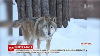 На Житомирщині вовки заходять у села в пошуках наживи та загризають собак