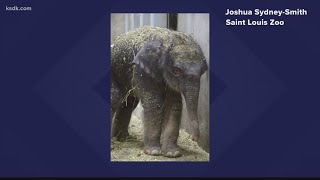 Meet Saint Louis Zoo's newest elephant
