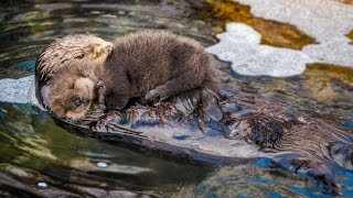 Mom and new born sea otter pup getting to know each other!