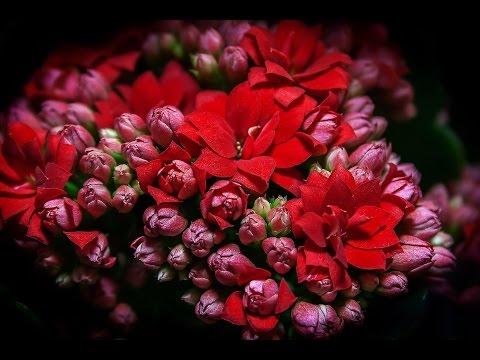 уход за каланхоэ после цветения