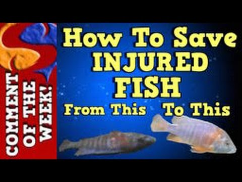How To Save Injured Fish! Comment Of The Week Episode 8