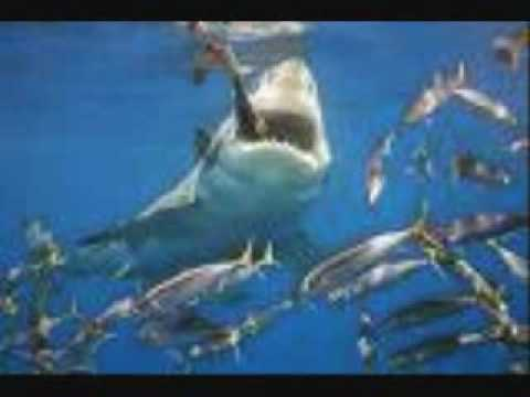 Top ten most dangerous sharks in the world youtube for Best white fish to eat