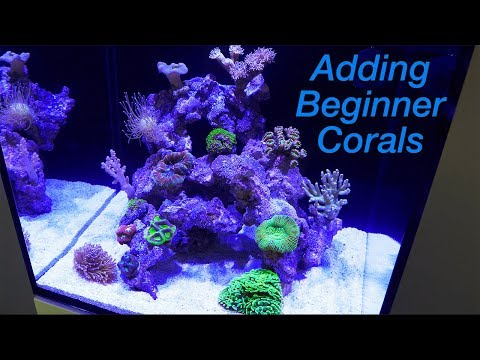 How To Setup A Reef Tank - Part 4: Hardy Beginner Corals And Where To Place Them