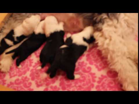 Old English Sheepdog puppies eating