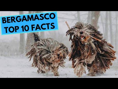 Bergamasco Dog Breed  TOP 10 Interesting Facts
