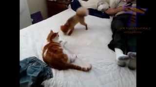 Смешные собаки раздражающие кошек. Симпатичные животное сборник