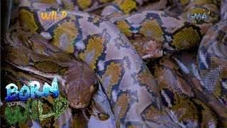 Born to Be Wild: 7 pythons jammed in one enclosure