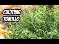 Como Plantar Tomillo en el Huerto | Plantas Aromáticas | La Huerta de Ivan