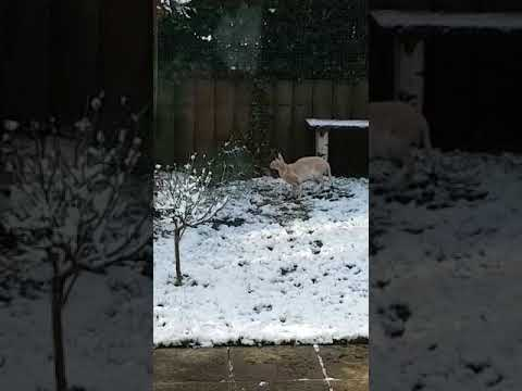 Cornish Rex Dio&Davy love snow by Martina&Ralf