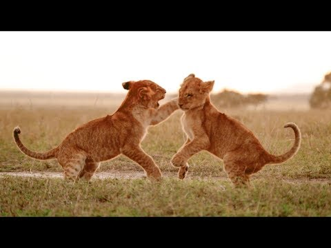 When Lions Work Together, They're Unstoppable Predators   Wild Files with Maddie Moate   BBC Earth