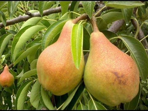 Как правильно посадить грушу. Как посадить саженец груши | приживаемость | плодового | посадить | саженца | саженец | сажанец | посадка | яблоня | дерево | дерева