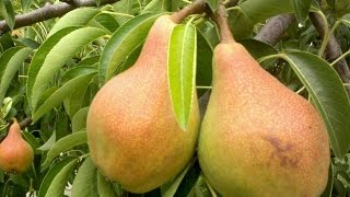 видео Как вырастить подвой для яблони и груши на дачном участке
