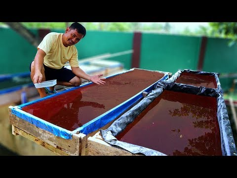 How To Culture Live-food Using COW MANURE│WHY DO FISH NEED LIVE FOODS