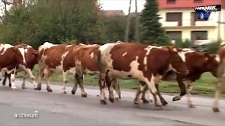 Krowa kontra weterynarz
