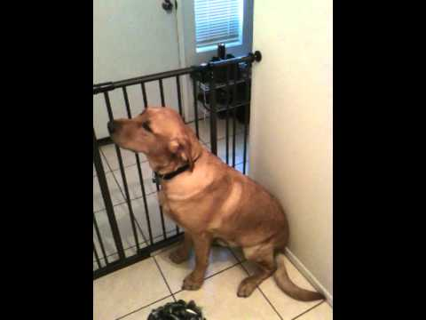 Labrador Gets Scolded Then Forgiven