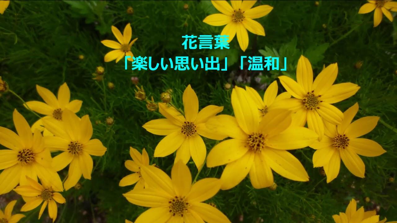 イトバハルシャギク(糸葉春車菊...