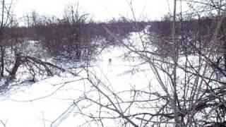 Видео-Охота с русской гончей. Заяц выходит на охотника.