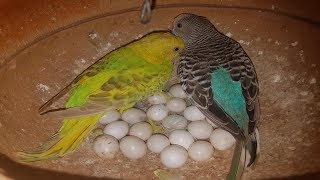 BUDGIES HUT COLONY PROGRESS 2018
