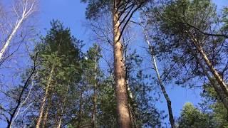 Suomalaisia havupuita