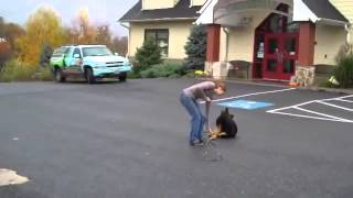 Dog Training In Maryland 5 Month German Shep First Lesson