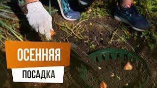 видео Посадка луковичных цветов осенью (под зиму) и правила их выращивания