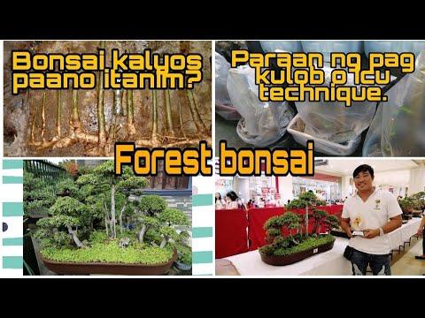 Bonsai Kalyos Pano Itanim? Paraan Ng Pag (Kulob O ICU) Method.Forest Style Kalyos