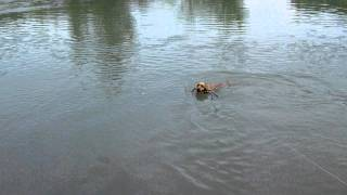 English Cocker Spaniel, Angel♪ First Swim.