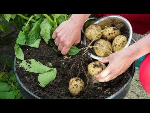 How to grow potato at home in tamil