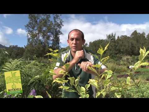 jardin nouvelle calédonie plantes de haies
