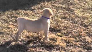 Siess Ranch Labrador Retrievers