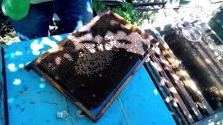 Урок пчеловодства № 2 -  Как подсадить плодную матку со 100% гарантией что ее примут