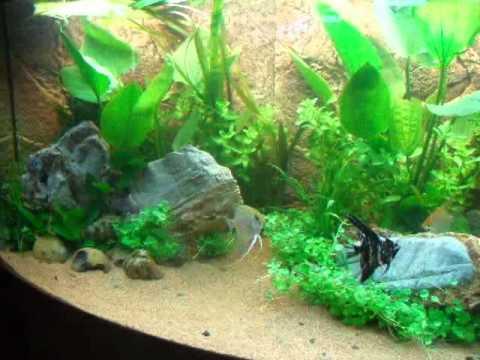 Aquarium fische skalar for Skalar aquarium