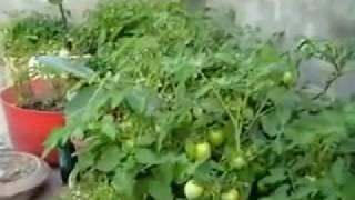 growing tomato plant at home urdu/hindi