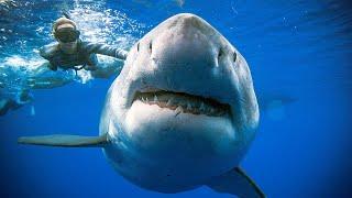 Her dykker hun med «verdens» største hai