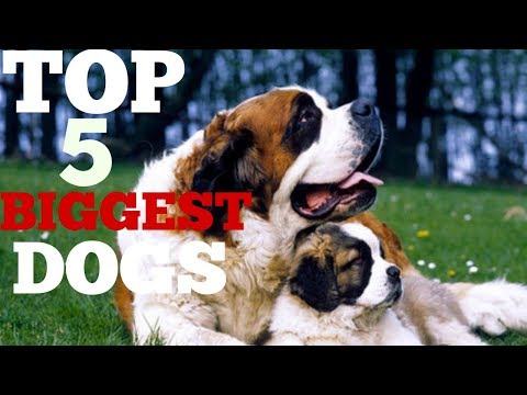 TOP 5 BIGGEST DOGS || TOP 5 LARGEST DOG BREED|| LARGEST DOG BREEDS|| DOGGIES TRAINING