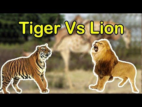 Tiger VS Lion SL Kids Tv
