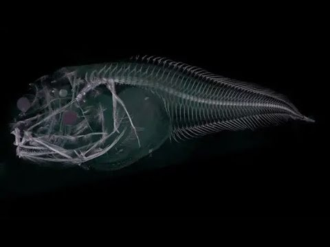 Scientists discover three new sea creatures in depths of the Pacific Ocean
