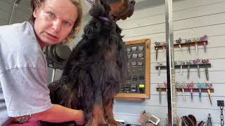 Gordon Setter Grooming  Brushing