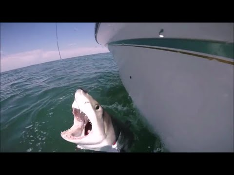 Great white shark caught off South Shore Long Island