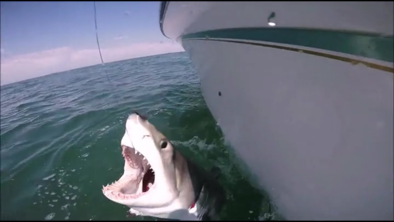 Great white shark caught off south shore long island youtube for Long island surf fishing report