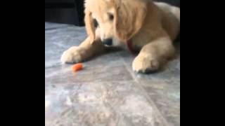 Golden Retriever Puppy Struggles With Carrot