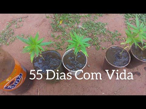 Cannabis Sativa 55 Dias De Vida #31 ( GORDÃO THC )