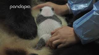 Have you ever seen a panda breastfeeding