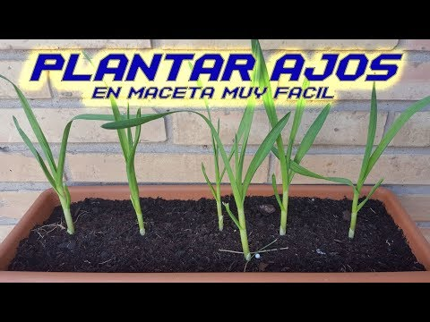 Como Sembrar Ajos en Maceta || Plantar Ajos | Cultivar Ajos en Huerto Orgánico | Cultivo paso a paso