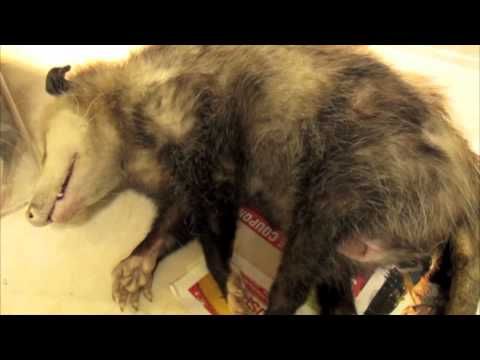 Dead opossum mom with live babies, Animal Advocates, Mary Cummins
