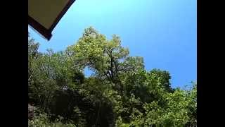 樹齢70年~ 樹高20m程 櫟の伐採作業です。 気候も良く作業もやりやす...