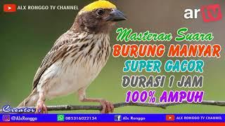 Download Masteran Suara Burung Manyar, Durasi 1 jam 100% Ampun dan Cepat Masuk juga Tidak Bikin Stres Burung