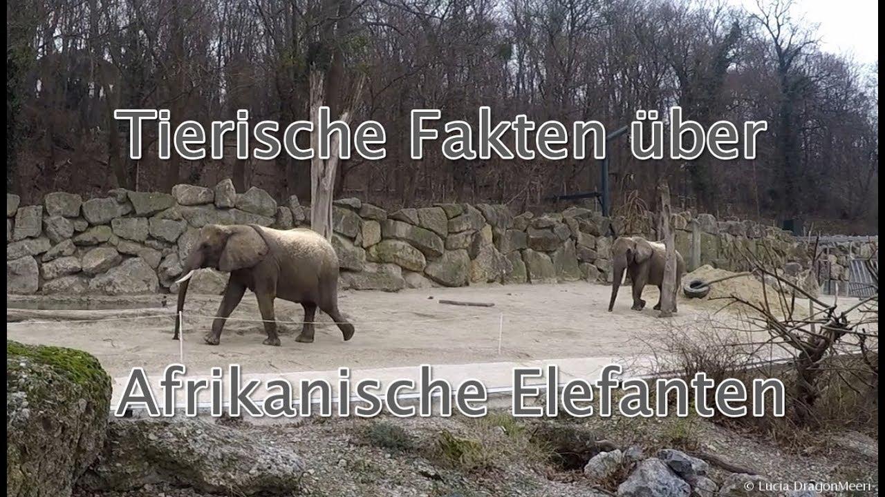 Elefanten Fakten