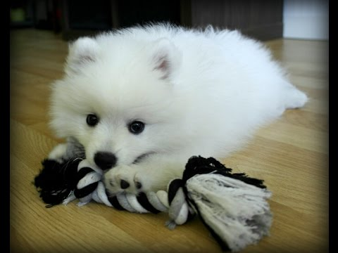 Molly Japansk spets 8 veckor - japanese spitz 8 weeks - Part 2
